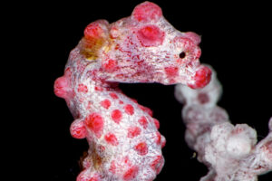 Photographing Pygmy Seahorses